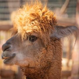 Шерсть альпака: особенности и характеристики. Согреет ли зимой пальто альпаки?